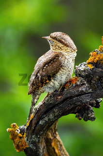 Eurasian wryneck sitting on branch in summer nature