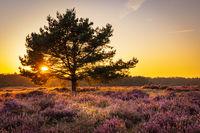 Blooming heath in naturepark in The Netherlands