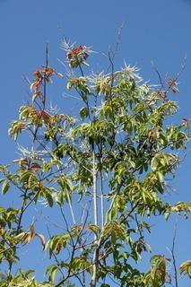 Oxydendrum arboreum, Sauerbaum, sourwood