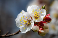 Apricot Tree Buds and Flowers