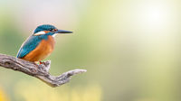 Common kingfisher sitting on branch with copy space