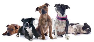 five staffordshire bull terrier