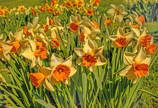 Narzissen 'Narcissus'