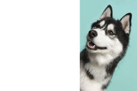 Portrait of a siberian husky on a blue background looking around the corner of a white empty board with space for copy