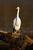 Great egret walking on fallen tree in vertical shot