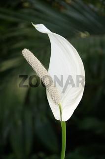 Spathiphyllum blandum, Einblatt, spath
