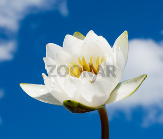 white water lily over blue cloudy sky