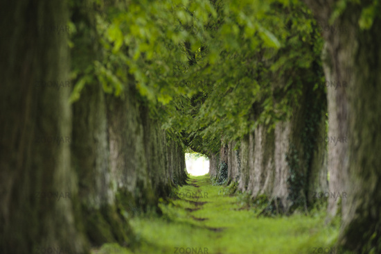 chestnut tree alley with footpath