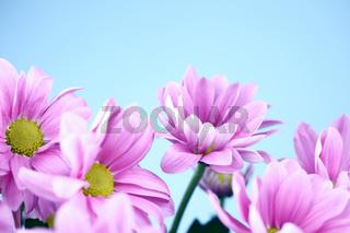 pink chrysanthemum macro close up