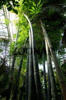Dendrocalamus giganteus, Riesenbambus, giant bamboo