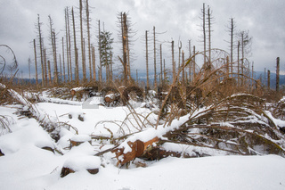 sterbender Wald im Nationalpark Harz