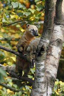 südamerikanische Nasenbären auf einem Baum