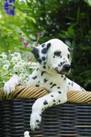 Dalmatian puppy, seven weeks old, in a garden
