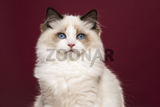 Portrait of a beautiful purebred ragdoll cat with blue eyes looking at the camera on a burgundy red background