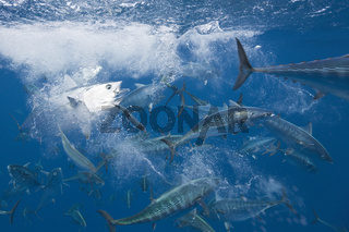 Bonitos jagen Sardinen