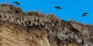 Swallows for swallows on the cliffs of Ahrenshoop