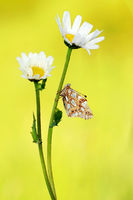 Queen of Spain fritillary and Chrysanthemum leucan