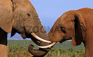Liebevolle Elefanten, Südafrika; loving elephants, south africa, wildlife