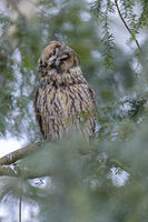 Long-eared owl on the sleeping place