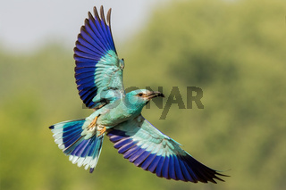 The european roller flying with open wings and green blurred background