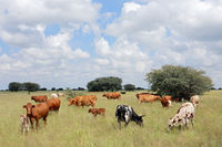 Herd of free-range cattle grazing in grassland on a rural farm