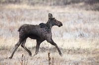 Moose in Saskatchewan