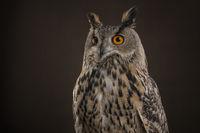 Eagle owl portrait at a dark brown background