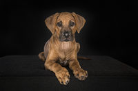 Rhodesian Ridgeback puppy looking at the camera lying down at a black background
