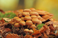 Sheathed woodtuft (Kuehneromyces mutabilis)