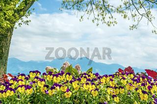 Pansies Chiemsee Alps