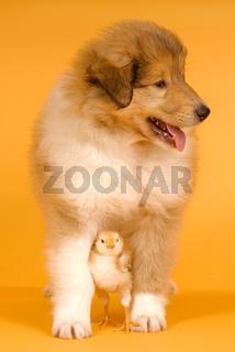 Collie und Küken Tierfreundschaft