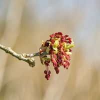Male flowers of an ash maple (Acer negundo) in a park in Magdeburg in springtime