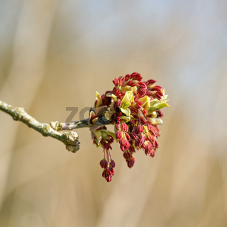 Männliche Blüten eines Eschenahorn (Acer negundo)
