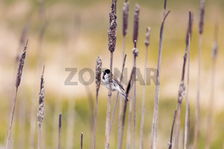 Common reed bunting female on the branch