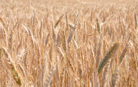 Vollreifes Roggenfeld - Fully ripe field of rye