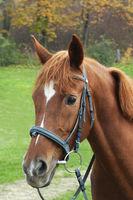 Portrait of a horse, brown horse