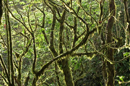 Mossy Rainforest Canopy
