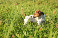 Jack Russell terrier puppy standing in low grass, looking behind her.