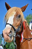 Chestnut horse with a winners rosette