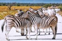 Plains Zebras, Etosha NP, Namibia