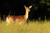 Fallow deer hind looking on grassland in summer sunlight