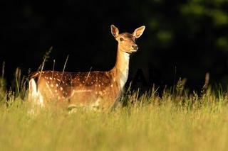 Fallow deer hind looking on grassland in summer sunlight