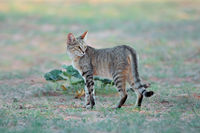 African wild cat (Felis silvestris lybica) in natural habitat