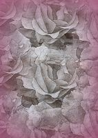 texture of roses