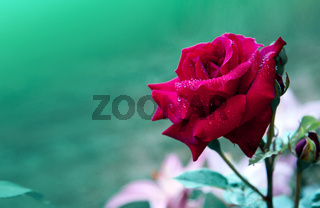 Red rose isolated on a green background.