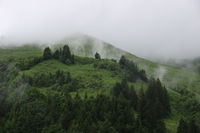 Pine forest and green meadow on a rainy day.