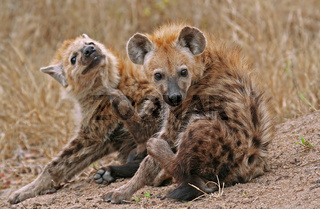 Junge Tüpfelhyänen, Südafrika, Young hyenas