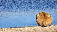 drinking lion in the morning light, Etosha National Park, Namibia