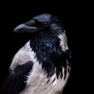 Portrait of a hooded crow in close up with face in profile