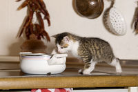 Cat, kitten bad habit, eats from cooking pot
